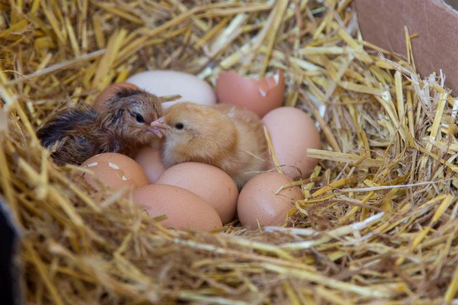 Nyudklækkede Kyllinger